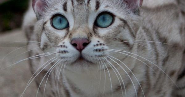 Bahiya Bengals Bengal Cat Breeder In Indiana And Georgia Bengal Cat Bengal Cat Breeders Unique Cats
