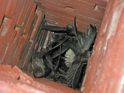 Chimney Swifts Certified Chimney Sweep Birds In Chimney