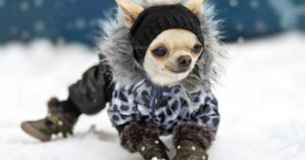 Bundled Up Chihuahua Omggg To Cute And She S Smiling Cute