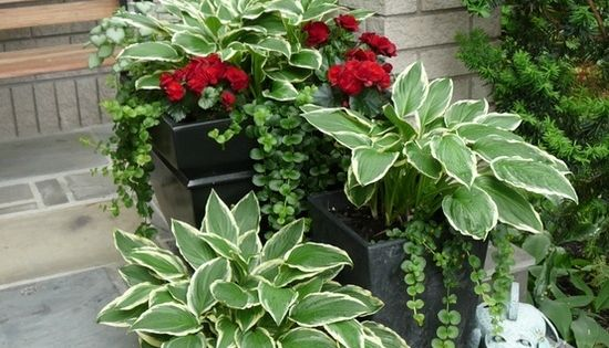 Hostas in a pot: every spring they return, in the pot! Add