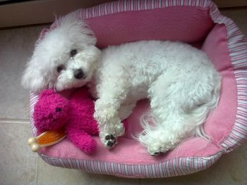 How Important Are Dog Beds For English Bulldogs Bichon Bichon
