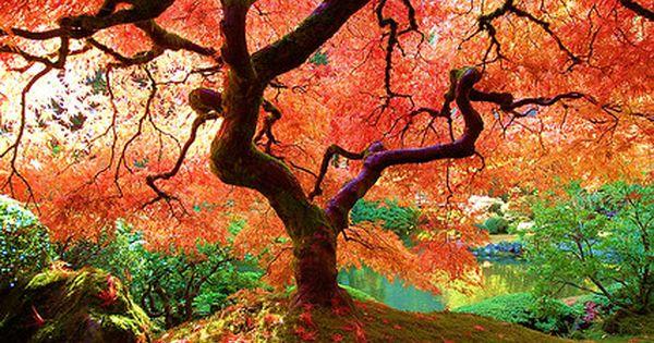 The Famous Maple - Japanese Gardens, Portland, Oregon. fallcolors fallfoliage trees color