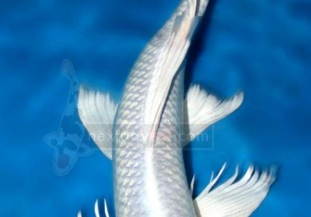 white butterfly koi - wanted - name will be Obake ...