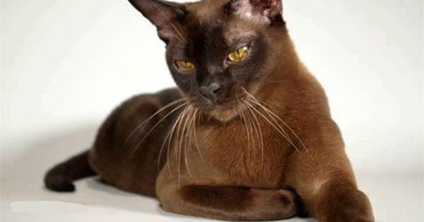 Https Www Facebook Com Photo Php Fbid 729290480568739 Burmese Cat Cat Breeds Pretty Cats