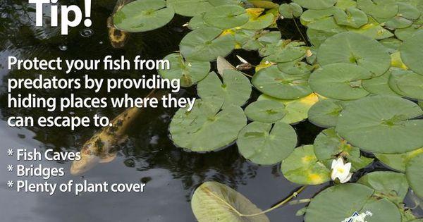How to deter visiting pond predators ponds blog and for Koi pond hiding places