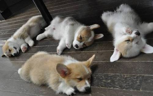 sleepy corgis are sleepy