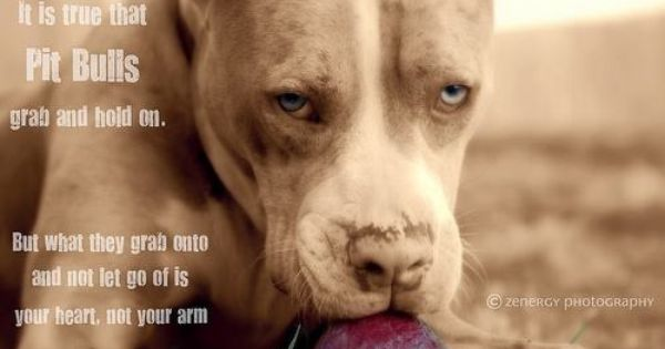 Pitbulls Grab Onto Your Heart And Never Let Go And That Is True Pitbulls Pitbull Quotes Pitbull Terrier