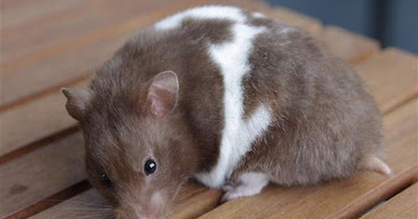 Chocolate Umbrous Tricolour White Banded Syrian Hamster Female