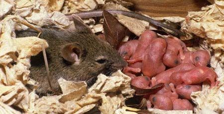 House Mouse With Offspring Rodent Control Mice Control Facts For Kids