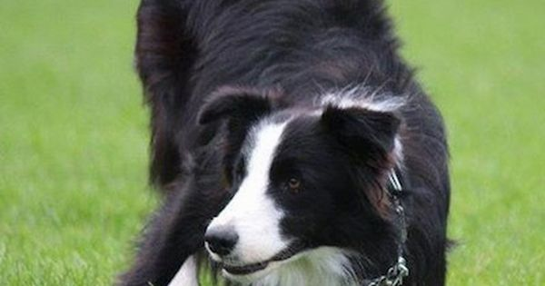 Koda The Border Collie Play Bowing Dog Breeds Collie Dog Dogs