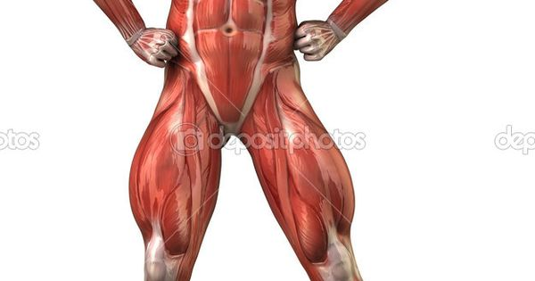 Unlabeled muscular system diagram
