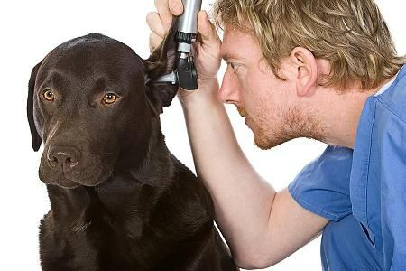 Witch Hazel To Clean Dog Ears