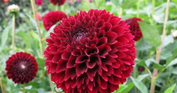 Name Jowey Mirella 2354 Classification Ball Dahlien Gezackte Bzw Geschlitzte Blutenblatter Color Schwarzrot Height Circa 110 Cm Blossom Size 6 Dahlien
