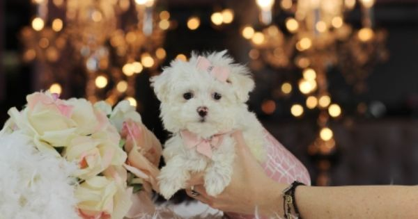Tiny Puppies For Sale Call 954 353 7864 And Visit Www