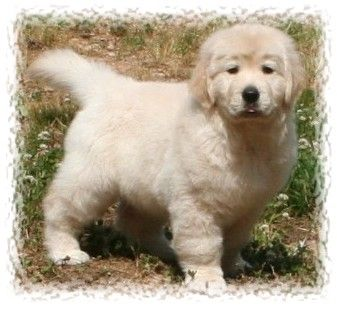 English Golden Retrievers Acadia Golden Retrievers Lee Co Nc