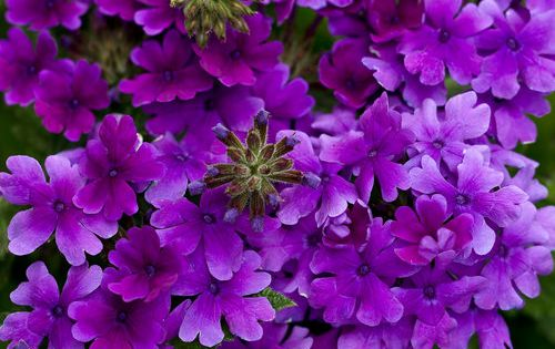 Superbena Dark Blue Verbena Hybrid Proven Winners Flower Garden Plans Purple Plants Beautiful Flowers Garden