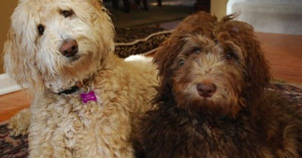 Double doodle ( goldendoodle and labradoodle mix) | My ...