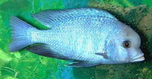 Rare african cichlids african lake malawi cichlids for Lake malawi fish