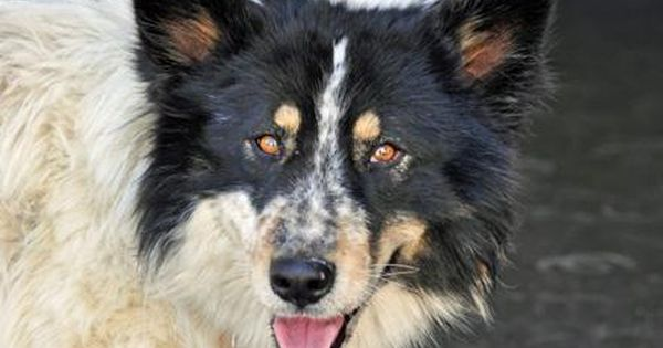 Adopt Scout On Shepherd Mix Dog Dogs Australian Shepherd