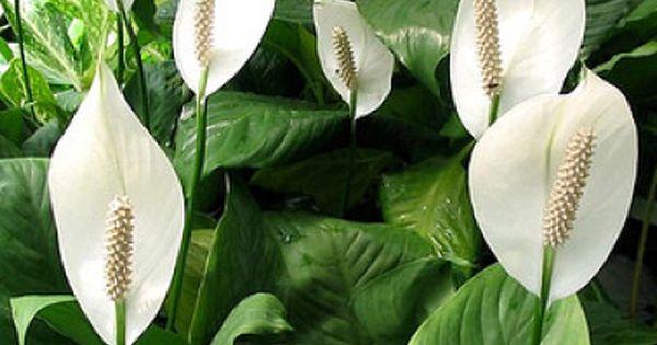 Skrzydlokwiat E Ogrodek Peace Lily Plants Plant Identification