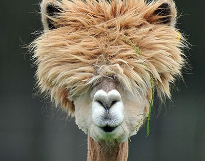 alpaca - the ROCK STAR of the animal world!