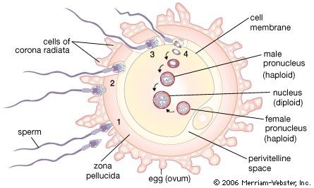 Image Result For Human Egg Diagram Archie S Press