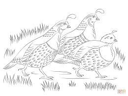 Image Result For California Quail Drawing Coloring Pages