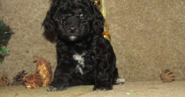 Maltese Poodle Toy Mix Puppy For Sale In Tucson Az Adn 55659