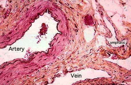 Artery And Vein Histology Labeled Google Search