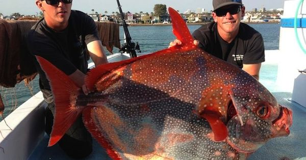 Rare opah catch off southern california surprises anglers for Opah fish price