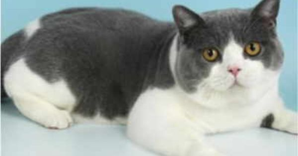 Our Boys British Shorthair Cats Pedigree Cats Cute Animals