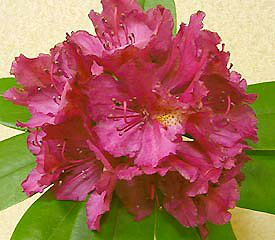 Rhododendron Pearce S American Beauty Has Openly Funnel Shaped