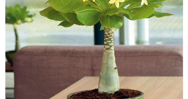 Hawaii palme sonniger standort p plants pinterest hawaii - Zimmerpflanzen sonniger standort ...
