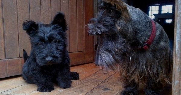 Pin By Lorrie Mccurdy On Scotties In 2020 Scottish Terrier Puppy
