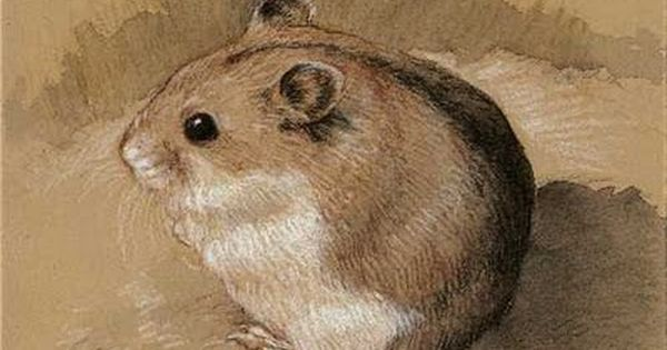 Hamster Drawing Google Search Animaux Dessin Croquis