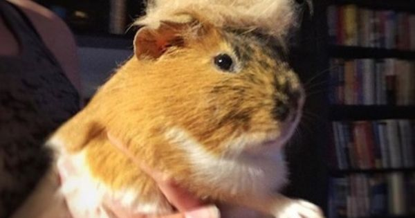 Pin On Animals With Donald Trump Hair