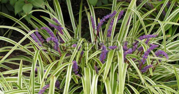 Stock photo liriope a grass like perennial with for Variegated grass with purple flower