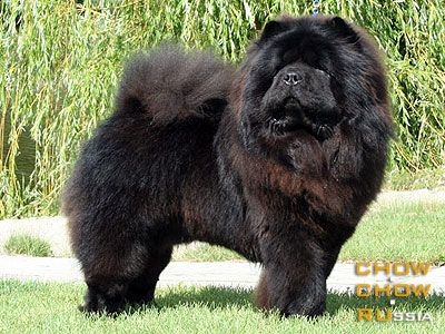 Black Chow Chow I Had A Chow Like This Named Chercon With