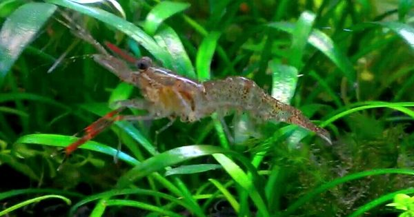 Red claw shrimp Hydra Forum - TheHydra.net The Hydra-Freshwater ...