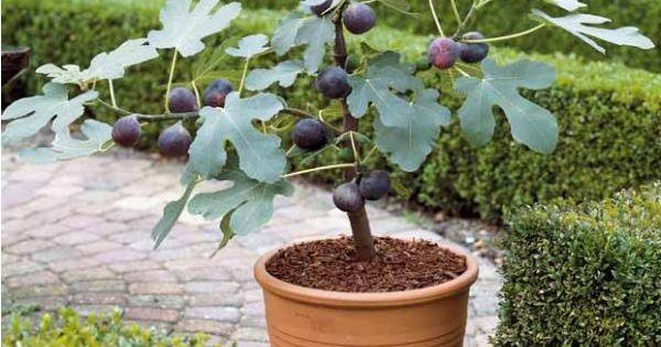 figue bleue 39 brogiotto 39 mini plantes pour petit jardin pinterest ficus et pots. Black Bedroom Furniture Sets. Home Design Ideas