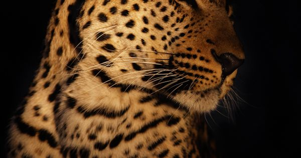 Leopard in The Dark. i love ALL big cats. got to pet