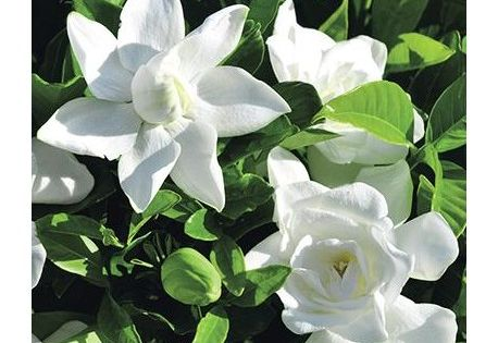 Gardenia 39 summer snow 39 bien rustique persistant et for Plantes a commander