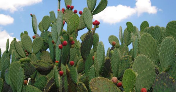 Nopal (planta medicinal)   plantas venenosas y medicinales