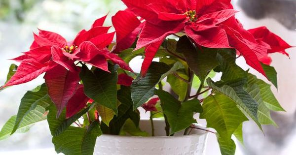 Poinsettias (Euphorbia pulcherrima) are popular potted plants, particularly during the Christmas season.