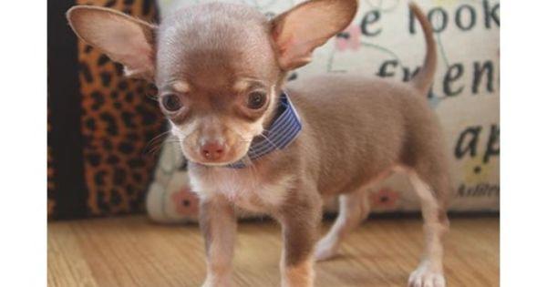 Petland Carriage Place Petland Pets Makes Life Better Pets New Puppy Chihuahua