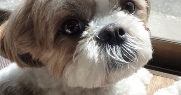 Natural Remedies For Shih Tzu Skin With Images Shih Tzu
