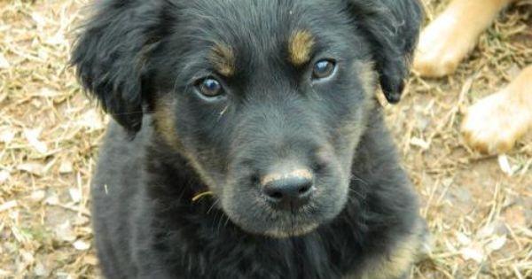 Beauregard Is An Adoptable Golden Retriever Irish Setter Dog In