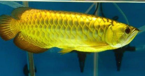 Dragon Fish Aquarium Fish Fish Pet
