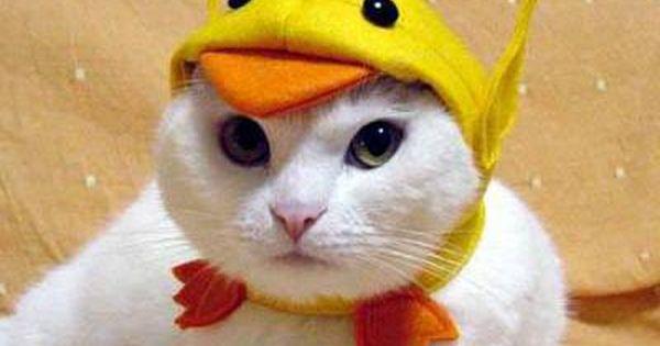 Resultat De Recherche D Images Pour Chat Deguise En Canard Chat Habille Animaux En Costumes Chat Trop Mignon