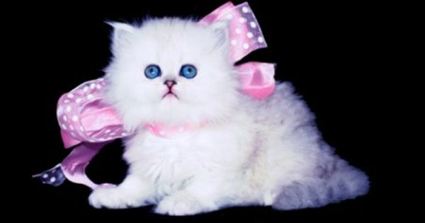 Persian Kittens For Sale Teacup Persian Kittens Doll Face Persians Persian Cat Doll Face Teacup Persian Kittens Persian Kittens
